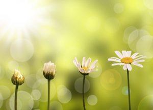 Croissance d'une pâquerette, fond nature et soleil